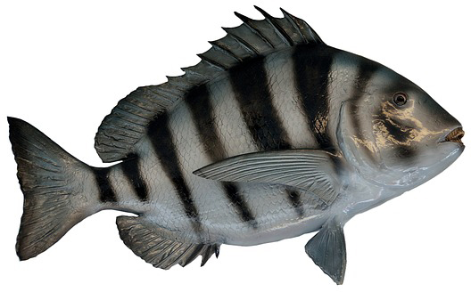 sheepshead-fish-or-convict-fish