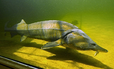 sturgeon-in-aquarium