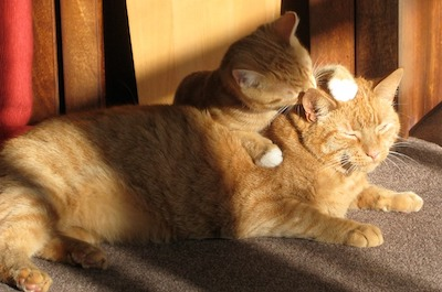 two-ginger-cats lying down