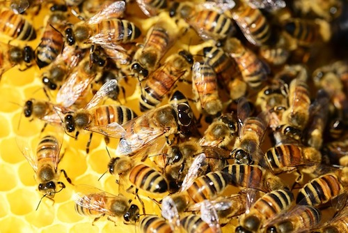 honey-bees-in hive