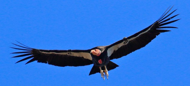 californian condor flying